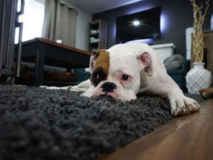 Pet Odor Removal & Pad Extraction Treatment | Top Notch Carpet Cleaning in Vancouver WA